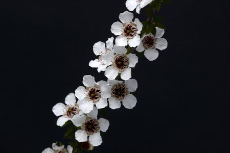 Bloemen van manuka van Nieuw Zeeland, scoparium Leptospermum. Stockfoto