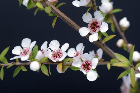 뉴질랜드 마누카, 마누카 scoparium, 약용 꿀의 인기있는 소스의 꽃