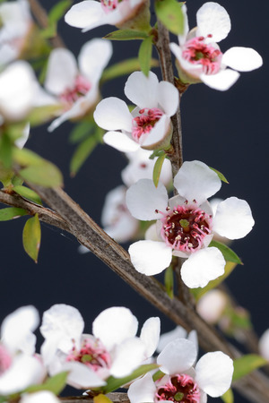 Flowers of New Zealand manuka, Leptospermum scoparium.