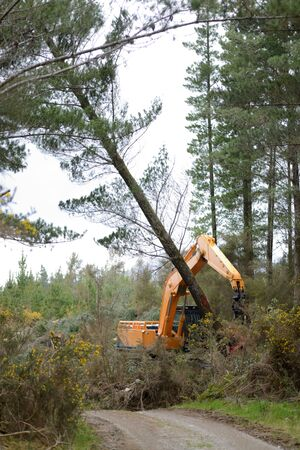 labouring: An auto-cut attachment on a digger arm cuts down Pinus radiata trees at a milling site in exotic forest on the West Coast, New Zealand