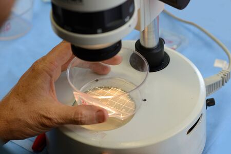 surrogate: A technician searches for live calf embryos for implantation into a surrogate cow as part of an artificial breeding program, West Coast, New Zealand