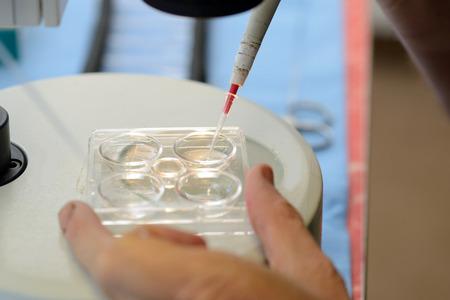Un technicien établit un veau embryon vivant dans une pipette, prêt pour l'implantation dans une vache porteuse dans le cadre d'un programme de reproduction artificielle, West Coast, Nouvelle-Zélande Banque d'images