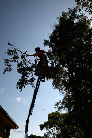 picker: KINGAROY, AUSTRALIA, MARCH 30, 2016: An unidentified man prunes a tall acacia tree from a cherry picker.