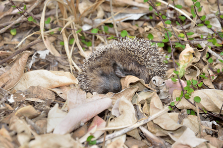 A young hedgehog plays possum after being disturbed in the garden Stock Photo