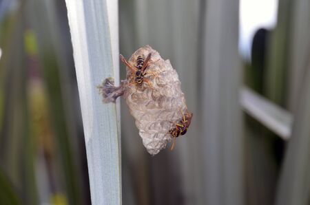 Australian paper wasps (Polistes humilis) at work on a nest in a flax bush