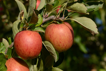 Braeburn apples ready to pick from an orchard in New Zealand