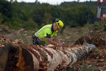 KUMARA, NEW ZEALAND, SEPTEMBER 20, 2017: A forestry worker measures a Pinus radiata log at a logging site near Kumara, West Coast, New Zealand. The log marker is responsible for getting the greatest value out of the log. 에디토리얼