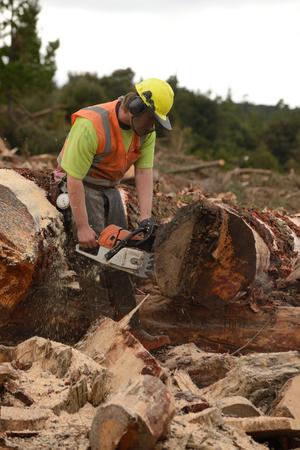 KUMARA, NEW ZEALAND, SEPTEMBER 20, 2017: A forestry worker cuts a Pinus radiata log to length at a logging site near Kumara, West Coast, New Zealand