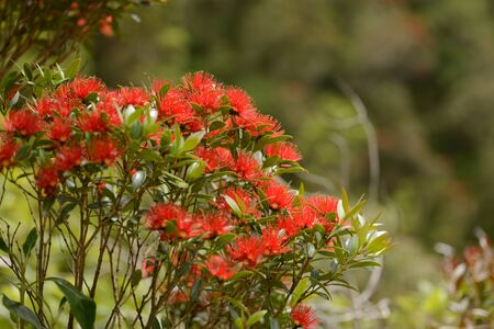 Flowers of New Zealand Southern Rata brighten the day for visitors to the Otira Gorge in Arthurs Pass National Park, New Zealand. Stock Photo