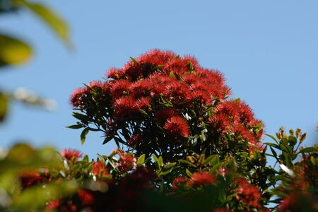 Flowers of New Zealand Northern Rata, Metrosideros robusta, brighten the day on the West Coast Stok Fotoğraf