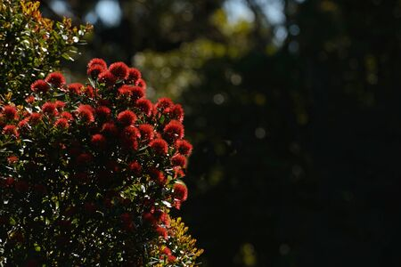 Flowers of New Zealand Northern Rata brighten the native bush on the West Coast, New Zealand.