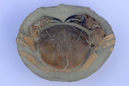 a well preserved fossilised crab