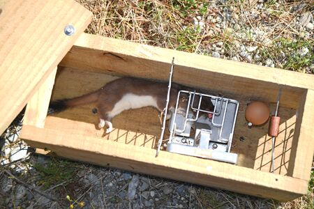 A dead stoat, Mustela erminea, lies in the trap where it was caught on the West Coast of New Zealand.
