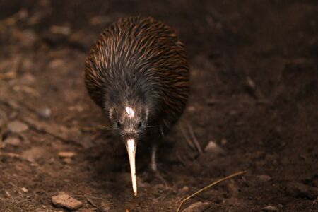The North Island brown kiwi, Apteryx mantelli, is the most common kiwi, with about 35,000 remaining, in the wild in New Zealand. This bird holds the world record for laying the largest eggs relative t