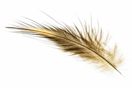 A feather of the North Island brown kiwi, Apteryx mantelli, from New Zealand
