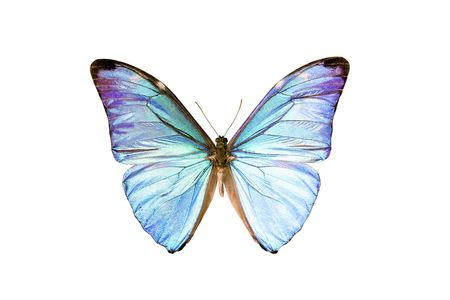 Butterfly - Morpho Adonis, South American Butterfly, origin Obidos Para Brazil, male isolated on white, wingspan 92mm