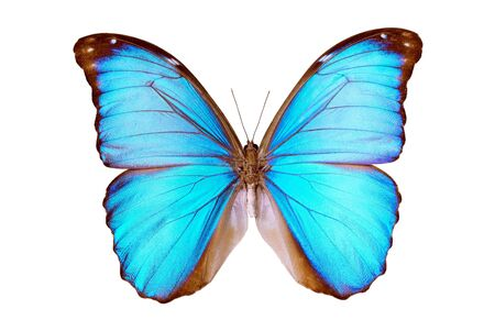 Butterfly, Morpho Menelaus Terrestris, South American Butterfly, origin Para Brazil, Rio Arapiuns, male isolated on white, wingspan 120mm