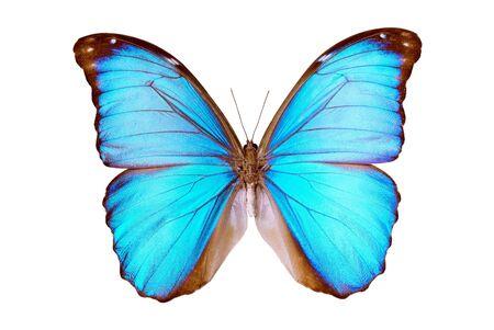 morpho menelaus: Mariposa Morpho Menelaus Terrestris, South American Butterfly, origen macho Para Brasil, r�o Arapiuns, aislado en blanca, de la envergadura de 120 mm