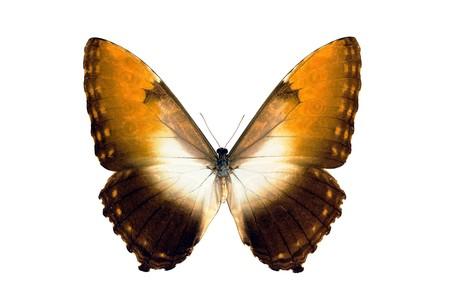 morpho: Butterfly,  Morpho Hecuba Obidonus, South American Butterfly, isolated on white, wingspan 120mm