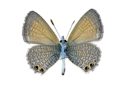 wingspan: Butterfly, Two Spotted Line Blue, Nacaduba biocellata, female Australian butterfly, underside isolated on white, wingspan 17mm