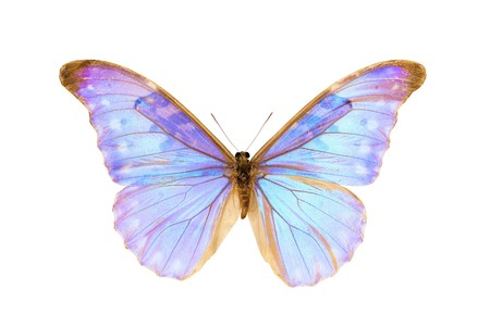 Papillon Morpho Diana Augustinae, rares d'Amérique du Sud papillon, d'origine Delta de l'Orénoque au Venezuela, papillon mâle isolé sur blanc, envergure 124mm