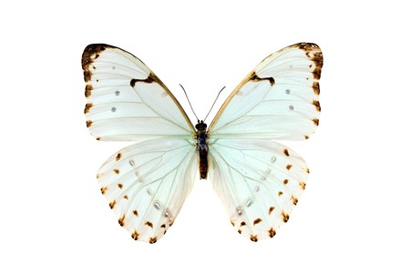wingspan: Butterfly, Morpho Luna, South American Butterfly, isolated on white, wingspan 105mm