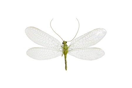 wingspan: Green Lacewing, Australian  Neuroptera,  isolated on white, wingspan 28mm