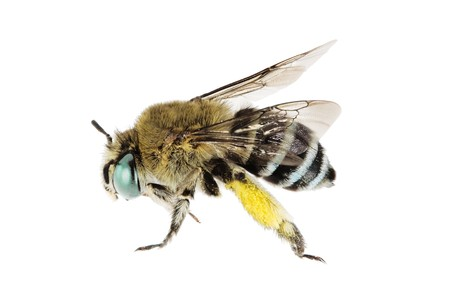 wingspan: Blue-banded Bee, Amegilla cingulata, Australian native bee, isolated on white, with collected mimosa pollen on rear legs, wingspan 17mm