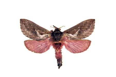 wingspan: Ghost moth, Abantiades hyalinatus, Australian moth, wingspan 43mm Stock Photo