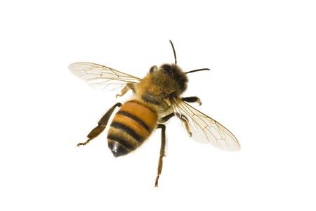 miel de abeja: Abejas, Apis mellifera, abeja de miel Europea o occidental, aislado en blanco, envergadura 18 mm.  Foto de archivo