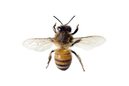 mellifera: Bee, Apis mellifera, European or Western honey bee, isolated on white, wingspan 18mm