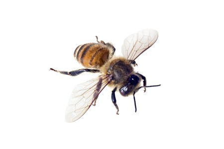mellifera: Bee, Apis mellifera, European or Western honey bee, isolated on white, wingspan 18mm