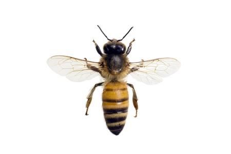 蜂、ミツバチ、翼幅 18 mm 白で隔離されるヨーロッパまたは西洋ミツバチ