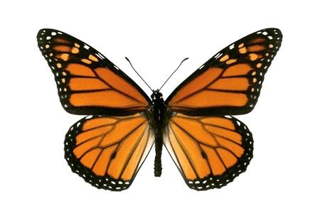 mariposas volando: Envergadura masculina, de mariposa monarca, especie, Wanderer, Danaus plexippus, 93 mm