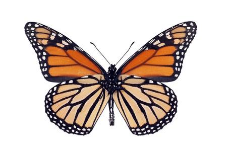 Butterfly underside, Monarch, Milkweed, Wanderer, Danaus plexippus, male, wingspan 93 mm