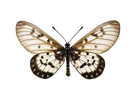 Butterfly, Glasswing, Little Greasy, Small Greasy, Acraea andromacha, male, wingspan 53mm Stock Photo - 8816957