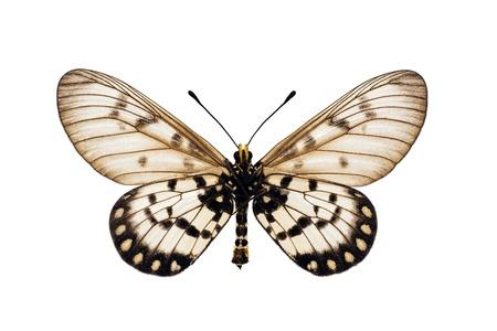 Papillon dessous, Glasswing, Little graisseuses, petit graisseuses, Acraea andromacha, mâle, envergure 53 mm