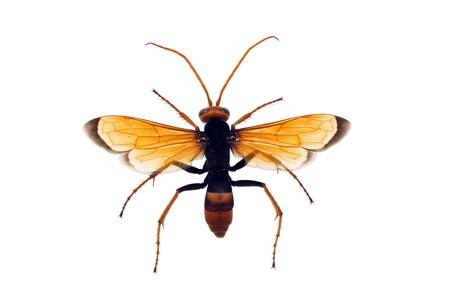 wingspan: Wasp, Orange Potter, Eumenes latreilli, length 17mm, wingspan 36mm Stock Photo
