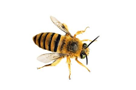 bee pollen: Teddy Bear Bee, Amegilla asaropoda, wingspan 21mm