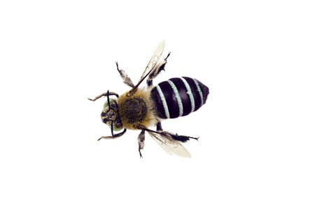 wingspan: Blue banded Bee, Amegilla cingulata, wingspan 17mm
