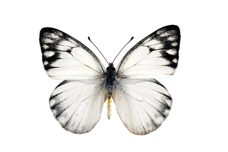wingspan: Butterfly, Yellow Spotted Jezebel, Delias nysa, male, wingspan 47mm Stock Photo