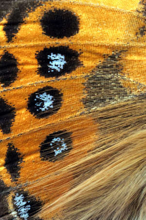 Butterfly wing, Painted Lady, Vanessa Kershawi photo