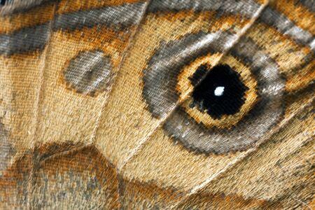 ringlet: Butterfly wing, Brown Ringlet, Hyposysta metirius