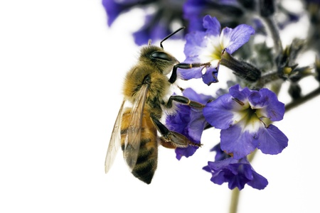 honey bee: Bee, Apis mellifera, European or Western honey bee feeding on heliotrope flowers
