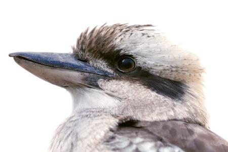 terrestre: Uccello, Kookaburra, un Martin pescatore terrestre, isolata on white