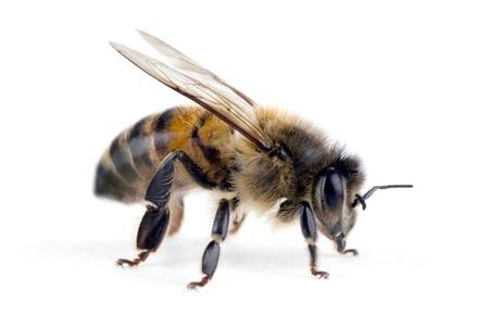 Biene, Apis Mellifera, europäischen oder westlichen Honigbiene, isoliert auf weiss, Spannweite 18 mm