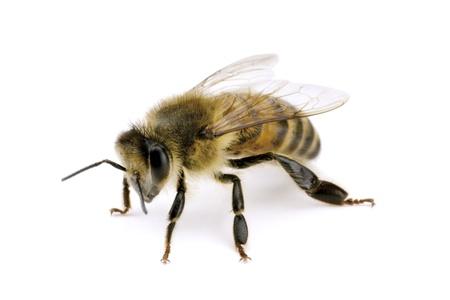 wingspan: Bee, Apis mellifera, European or Western honey bee, isolated on white, wingspan 18mm