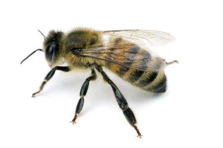 Biene, Apis mellifera, europäischen oder westlichen Honigbiene, auf weißem, Spannweite 18 mm isoliert