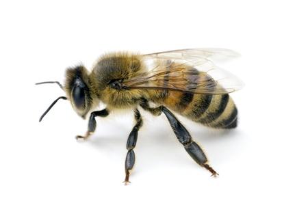 abeja: Abejas, Apis mellifera, abeja de miel Europea o occidental, aislado en blanco, envergadura 18 mm
