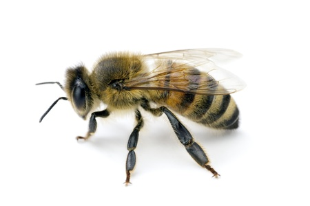 apis: Bee, Apis mellifera, European or Western honey bee, isolated on white, wingspan 18mm